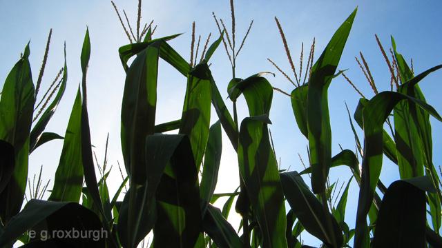 corn w sky