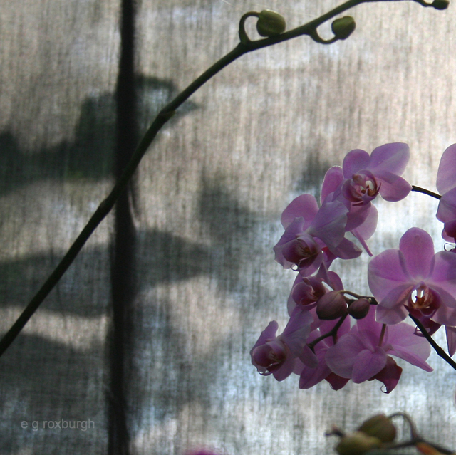 orchid shadow