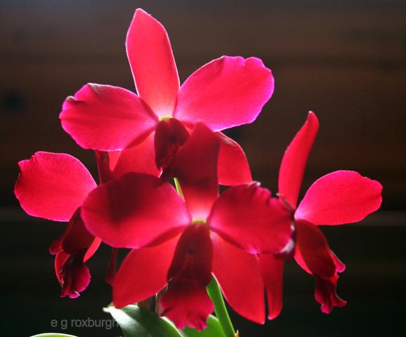 Flower Tuesday! Cattleya