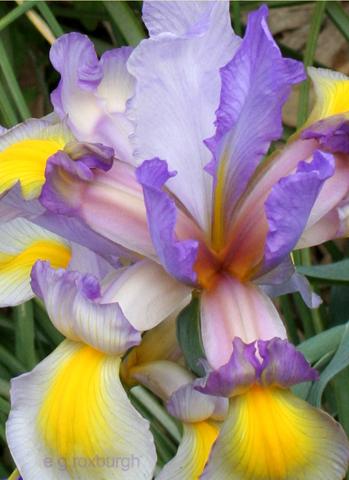 Flower Tuesday! Iris
