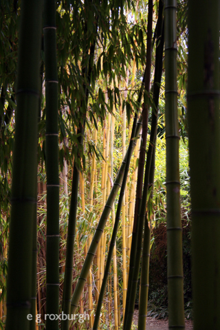 through a bamboo grove