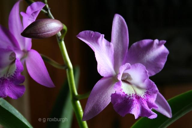 e-Montris orchid egr