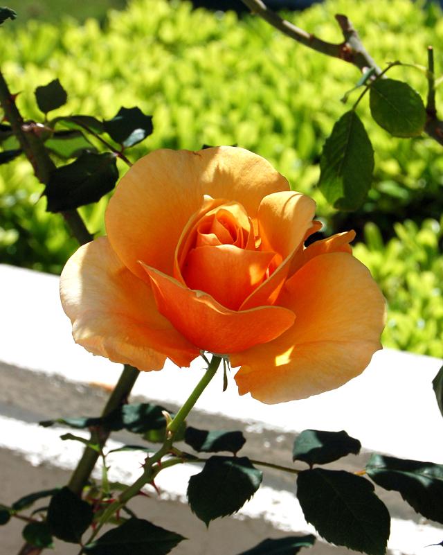 orange-rose-5-08